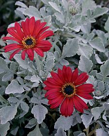 ARCTOTIS hybrid 'Cherry Frost', African Daisy