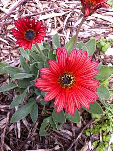 ARCTOTIS hybrid 'Sunset', African Daisy