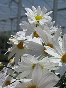 ARGYRANTHEMUM frutescens 'GoDaisy Mega White', Marguerite Daisy