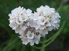 ARMERIA maritima 'Alba', Common Thrift, Sea Pink