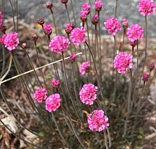 ARMERIA maritima 'Rubrifolia', Common Thrift, Sea Pink