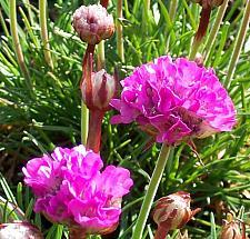 ARMERIA maritima 'Splendens', Common Thrift, Sea Pink