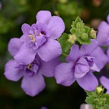 SUTERA Scopia 'Double Indigo', Bacopa 'Double Indigo'