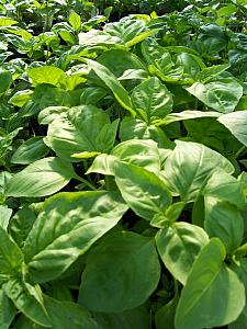 BASIL 'Genovese', Organic Heirloom Basil