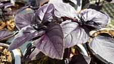 BASIL 'Red Rubin', Organic Basil