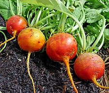 BEETS 'Detroit Golden', Organic Beet