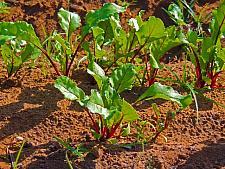 BEETS 'Detroit Dark Red', Organic Heirloom Beet