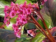BERGENIA cordifolia 'Bressingham Ruby', Heartleaf Bergenia