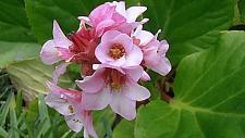 BERGENIA crassifolia, Siberian Tea, Winter Blooming Bergenia