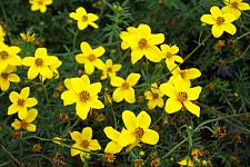 BIDENS ferulifolia 'Gold Marie', Bidens