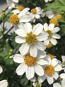 BIDENS ferulifolia 'White Delight', Bidens