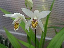 BLETILLA striata 'Alba', Chinese Ground Orchid