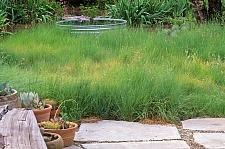 BOUTELOUA gracilis, Blue Grama Grass, Mosquito Grass