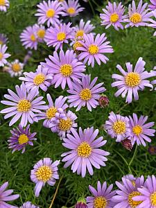 BRACHYSCOME multifida 'Blue', Swan River Daisy