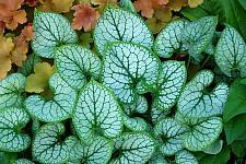 BRUNNERA macrophylla 'Jack Frost', Siberian Bugloss, Forget-Me-Not, Alkanet