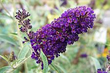 BUDDLEJA davidii var. nanhoensis 'Black Knight', Butterfly Bush or Summer Lilac
