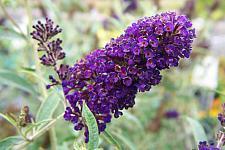 BUDDLEJA davidii var. nanhoensis 'Black Knight', Butterfly Bush or Summer Lilac