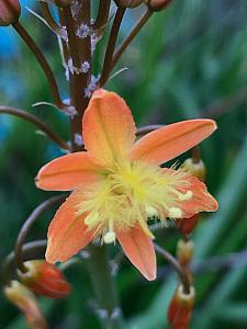 BULBINE frutescens - orange form, Stalked Bulbine (syn. B. caulescens)