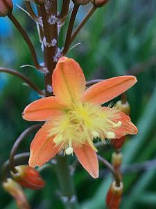 BULBINE frutescens - orange form, Stalked Bulbine (syn. B. caulescens)