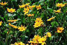 COREOPSIS auriculata 'Nana', Mouse Ear Coreopsis, Dwarf Coreopsis, Tickseed