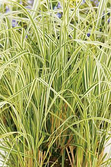 CALAMAGROSTIS x acutiflora 'Overdam', Feather Reed Grass