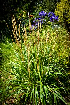 CALAMAGROSTIS nutkaensis 'The King', Pacific Reed Grass, Bunch Grass