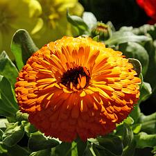 CALENDULA officinalis 'Maayan Orange', Organic Calendula