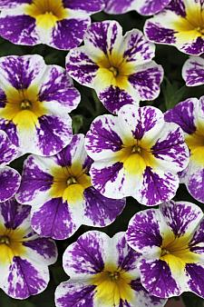 CALIBRACHOA Candy Shop 'Grape Splash', Candy Shop Calibrachoa
