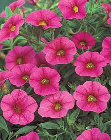CALIBRACHOA hybrid Superbells 'Cherry Red', Superbells Calibrachoa