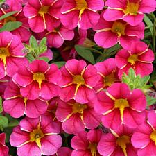 CALIBRACHOA hybrid Superbells 'Cherry Star', Superbells Calibrachoa