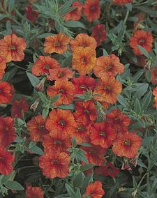 CALIBRACHOA hybrid Million Bells 'Crackling Fire', Calibrachoa Million Bells