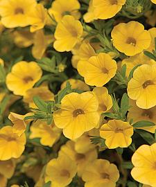 CALIBRACHOA hybrid Million Bells 'Trailing Yellow', Calibrachoa Million Bells