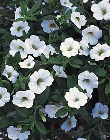 CALIBRACHOA hybrid Superbells 'White', Superbells Calibrachoa