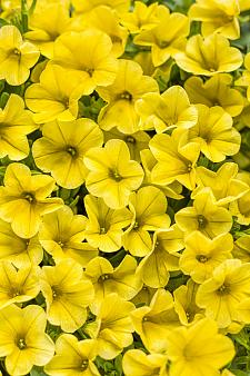 CALIBRACHOA hybrid Superbells 'Yellow', Superbells Calibrachoa