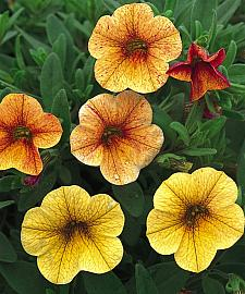 CALIBRACHOA hybrid Million Bells 'Terra Cotta', Calibrachoa Million Bells
