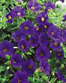 CALIBRACHOA hybrid Million Bells 'Trailing Blue', Calibrachoa Million Bells