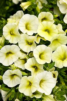 CALIBRACHOA hybrid Superbells 'Yellow Chiffon', Superbells Calibrachoa