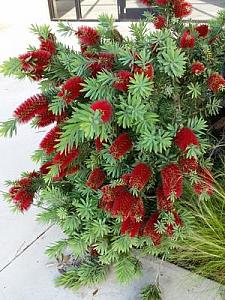 CALLISTEMON 'Little John', Dwarf Bottlebrush