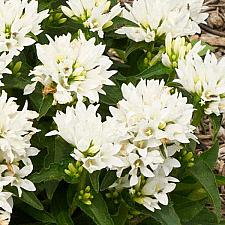 CAMPANULA glomerata 'Genti White', Clustered Bellflower