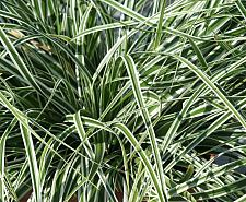 CAREX oshimensis 'Everest' ('Finwhite', 'Carfitol'), Silver Variegated Japanese Sedge