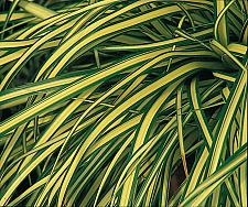 CAREX oshimensis 'Evergold', Variegated Japanese Sedge