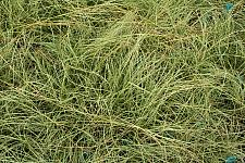 CAREX comans 'Frosted Curls', New Zealand Hairy Sedge