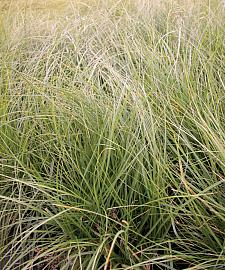 CAREX pansa, California Meadow Sedge, Dune Grass