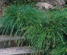 CAREX divulsa (formerly C. tumulicola, species, Berkeley Sedge), European Grey Sedge
