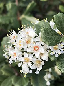 CEANOTHUS maritimus 'Popcorn', White California Lilac