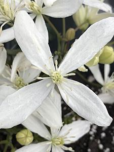 CLEMATIS armandii 'Snowdrift' (syn. 'Snodrift'), Clematis: Evergreen and Early Flowering type