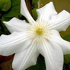 CLEMATIS 'Marie Boisselot' (syn. 'Madame Le Coultre'), Clematis: Mid-season Large-flowered type