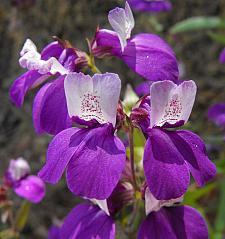 COLLINSIA heterophylla, Purple Chinese Houses