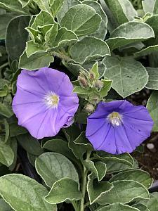 CONVOLVULUS sabatius (C. mauratanicus), Ground Morning Glory