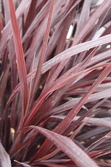 CORDYLINE 'Design-a-Line Burgundy', Torbay, Cabbage or Cornish Palm